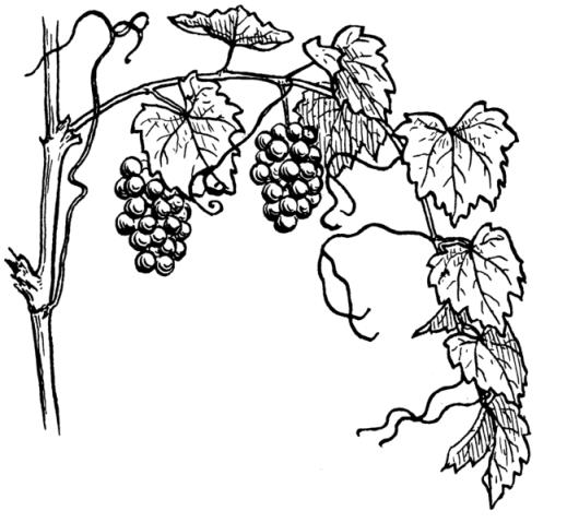 Vitis Vinifera. Pearson Scott Foresman